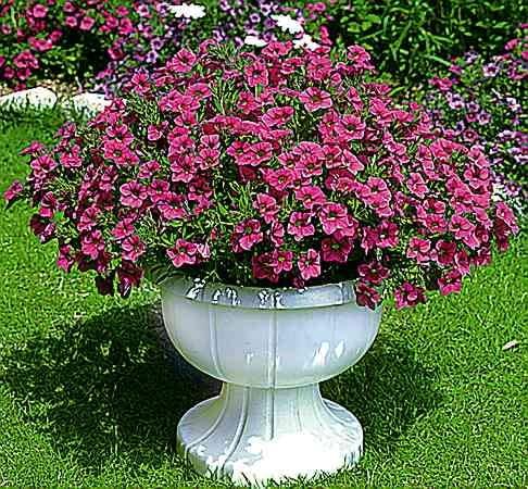 Million Bells to seria odmian obficie kwitnących o dość drobnych kwiatach i bardzo zwartym pokroju.