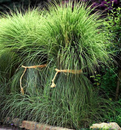 Pampas grass tied with raffia