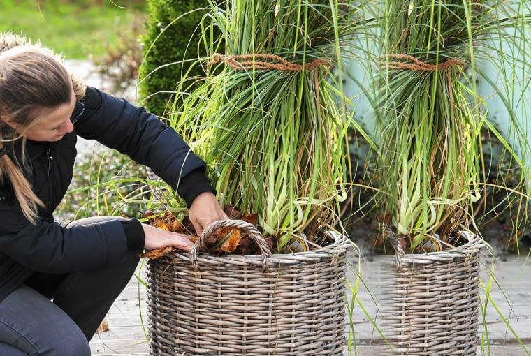 Pampasgras winterfest einpacken : Frau schuetzt den Wurzelbereich von Cortaderia selloana ( Pampasgras ) mit Herbstlaub SLOWA KLUCZOWE: Bl tter Korb msgnp13 000 draussen Terrasse Topf hoch Person Praxis Gr ser Winterschutz Herbst