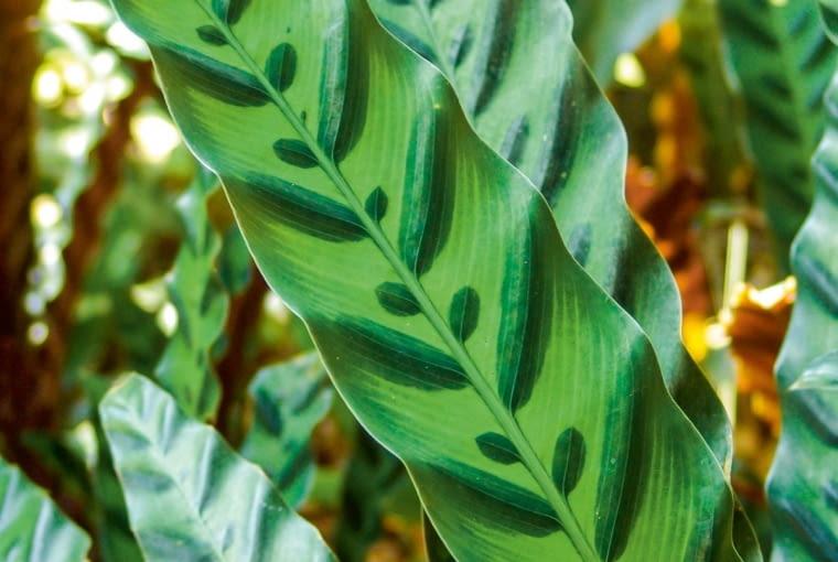 Kalatea lancetolistna (Calathea lancifolia)