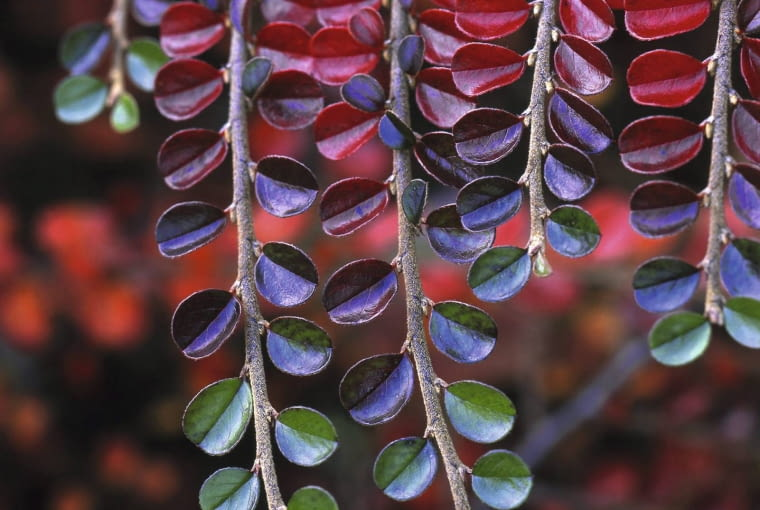 01A76HHX - USA, Oregon, Multnomah County, Close-up of cotoneaster plant in fall colors. Credit as: Steve Terrill / Jaynes Gallery / DanitaDelimont.com