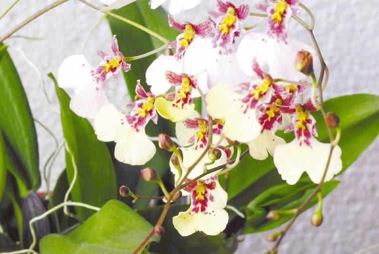 Storczyk motylnik. Kwiaty doniczkowe