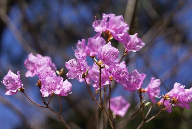 Różanecznik ostrokończysty (Rhododendron mucronulatum) to najwcześniejszy (marcowy) gatunek z tego rodzaju botanicznego.