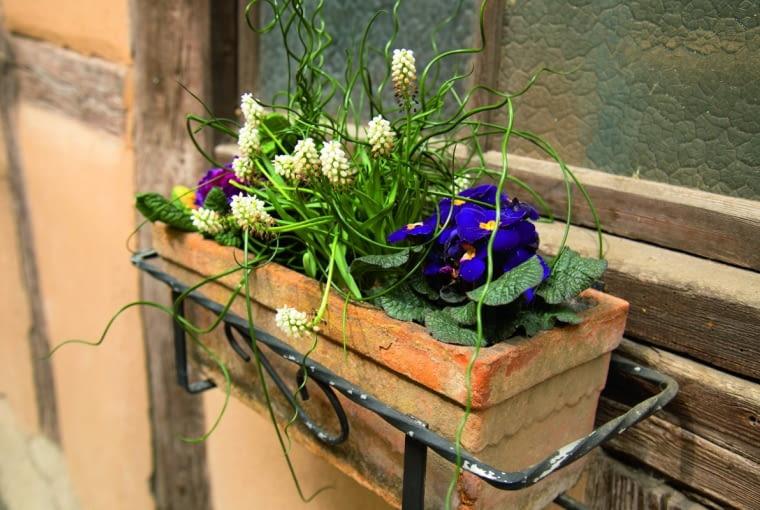 Na balkonie wczesną wiosną mogą kwitnąć wykopane zrabat pierwiosnki iszafirki.