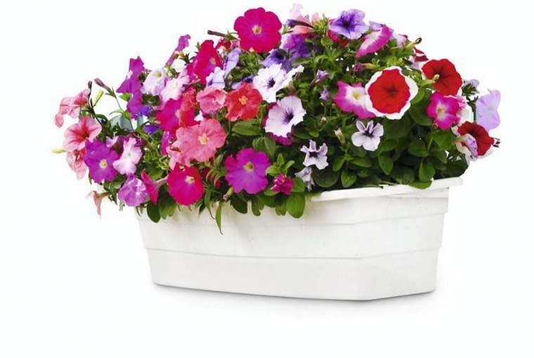 Petunia. Kwiaty balkonowe