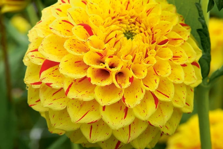 'Funny Face' - dalia kulista, wys. 1 m, śr. 'kwiatu' 10 cm.