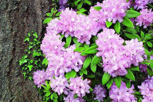 różanecznik, rododendron, rośliny ogrodowe