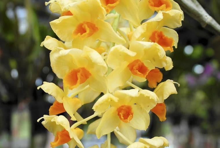 Dendrobium thyrsiflorum ma kwiaty podobne do żonkili.