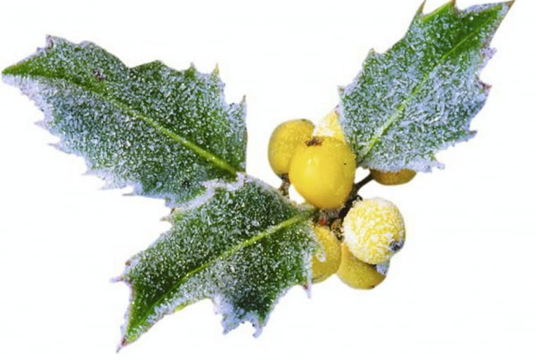 Ilex x aquifolium 'Bacciflava' - Holly with frost in winter SLOWA KLUCZOWE: winter Ilex x aquifolium Bacciflava ilex frost