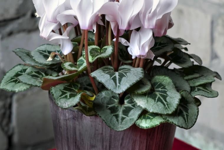 ODMIANĘ 'SILVERADO WHITE' zdobią kwiaty i wyraźne wzory na liściach.