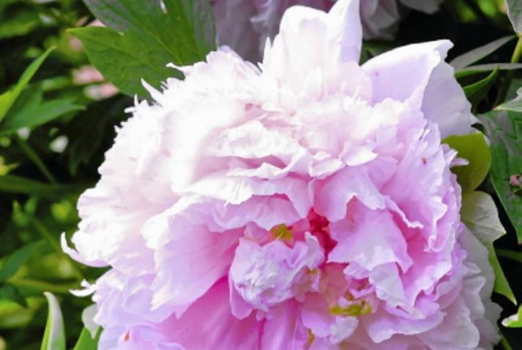 Niezwykle zmysłowo wyglądają odmiany o kwiatach wypełnionych po brzegi delikatnymi różowymi płatkami