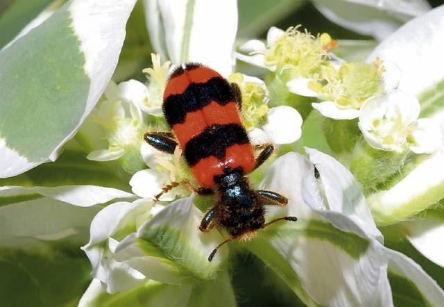 Barciel pszczołowiec nie poszukuje w kwiatach nektaru - przyszedł tu na polowanie