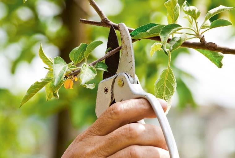 Gatunki owocowe. Jabłonie igrusze zdążyły wypuścić dużo silnych jednorocznych pędów (tzw. wilków), na których wtym roku nie urodzą się owoce. Te, które rosną na wierzchołku lub mocno zagęszczają wnętrze korony, wycinamy wcałości. Pozostawiamy tylko kilka wyrastających zboku korony, skracając je nad 2.-3. oczkiem (licząc od podstawy pędu). Uwinorośli skracamy nieco pędy wyrastające ponad młodymi gronami owoców.