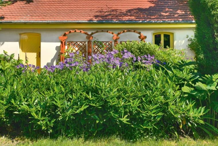 Fioletowe bodziszki (Geranium magnificum) to niezwykle efektowne towarzystwo dla laurowiśni (na pierwszym planie).