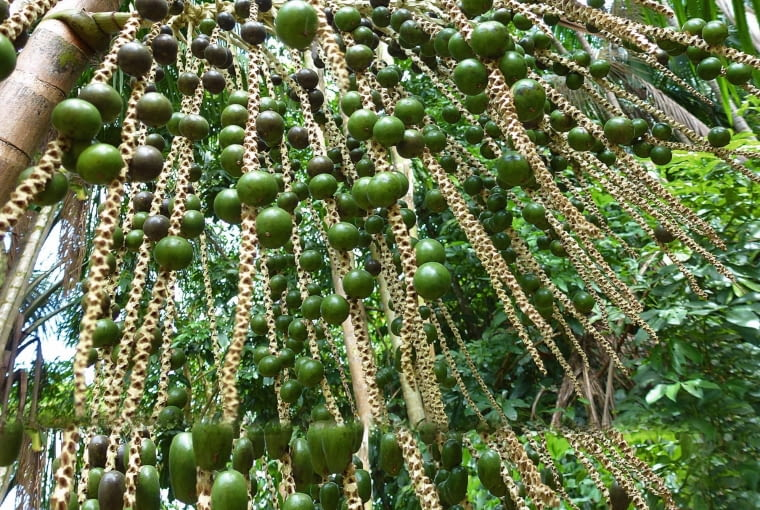 Jagody Acai sproszkowane, obok - dojrzewające owoce. Za ekstrakt: 60 kapsułek po 1 g, zapłacimy ok. 20 zł.