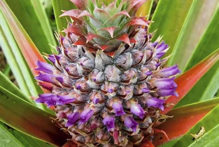 Tak wygląda kwiatostan ananasa w pełni kwitnienia. Spod twardych łusek wyłaniają się drobne kwiaty. W tym momencie rozwoju pióropusz liści jest dopiero w początkowej fazie wzrostu.