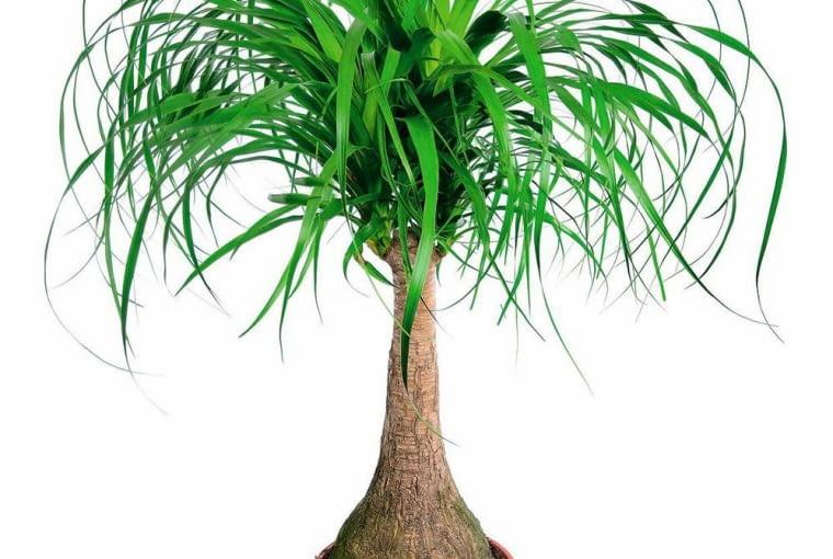 NOLINA (Nolina recurvata, inaczej Beaucarnea recurvata) potrafi długo przetrwać bez wody, w palącym słońcu lub w cieniu. Bardzo wolno rośnie.