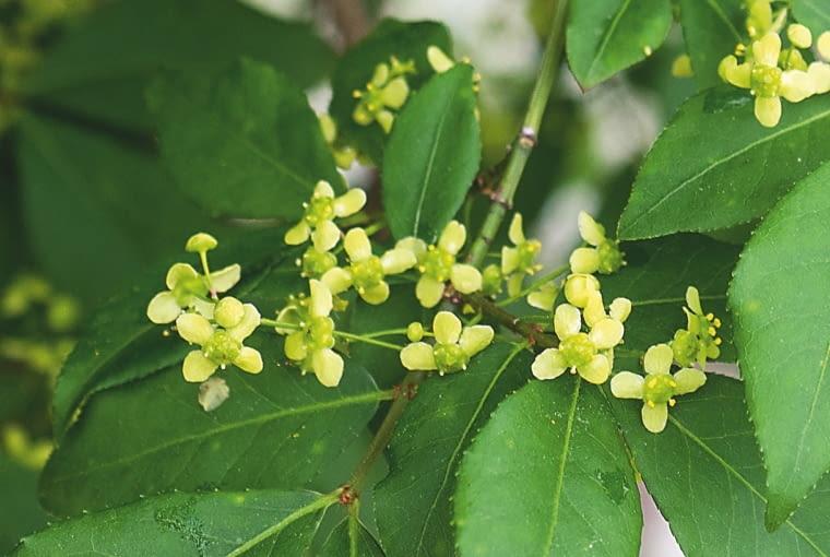ŻÓŁTO-ZIELONKAWE luźne kwiatostany pojawiają się w maju. Niewiele wzbogacają skromną prezencję krzewu.
