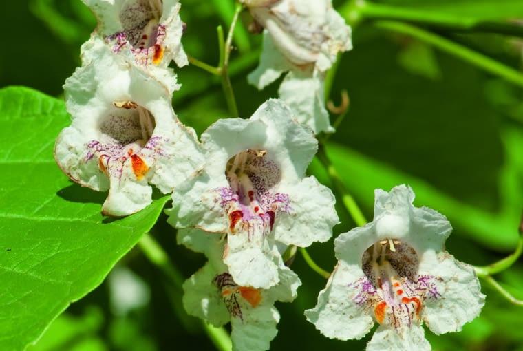Surmia ma białe lub żółte kwiaty. Zwykle obok nich wiszą zawiązane wcześniej długie owoce. Jednak niektóre odmiany surmii nie kwitną.