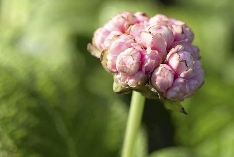 Deinanthe bifida Pink Shi SLOWA KLUCZOWE: Deinanthe Deinanthe bifida Perennial Sommer pink pinkfarben rosa Hochformat