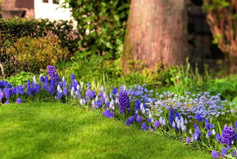Pod drzewem liściastym tylko wczesną wiosną jest dużo słońca. Korzystają zniego hiacynty iszafirki armeńskie: pełne 'Fantasy Creation' ijasne 'Babys Breath'.