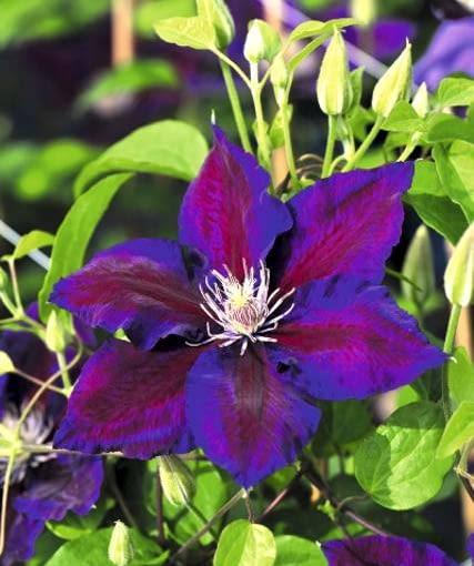 Powojnik (Clematis) 'Julka' z grupy wielkokwiatowych. Powojniki to cenne pnącza różniące się zależnie od grupy i odmiany siłą wzrostu i terminem kwitnienia (od końca kwietnia do końca października)