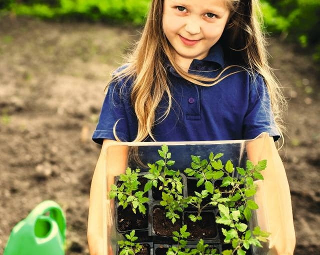 Gdy w maju nadejdzie czas na przesadzanie rozsady do gruntu, młode pomidory mają co najmniej po 10 cm wysokości i kilka par liści