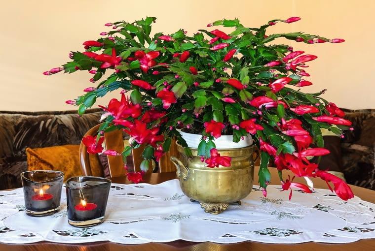 'CARIBBEAN DANCER' - odmiana o nietypowych czerwonych kwiatach.