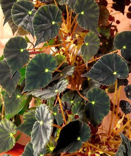 Begonia 'Nigra Magra'