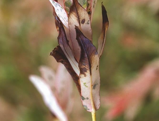 Tłuste białe plamy na liściach wierzby. Przyczyna: bakterioza.