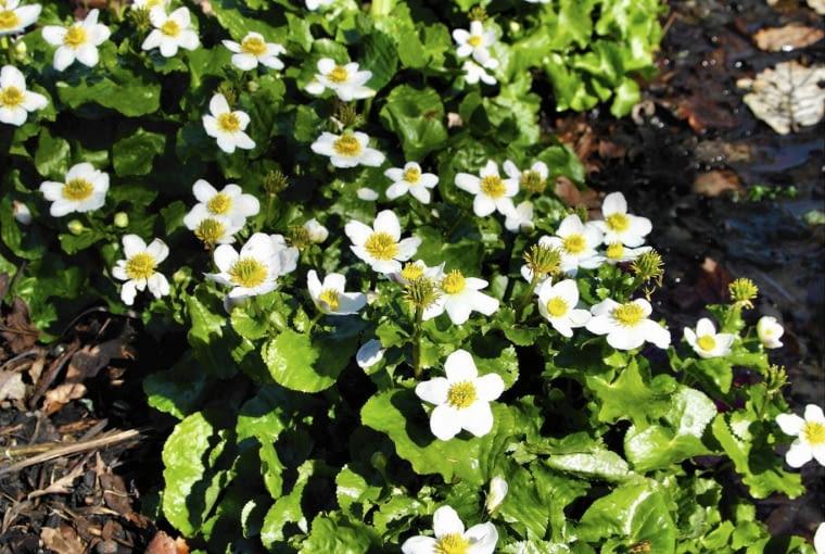 Caltha palustris alba in mid March SLOWA KLUCZOWE: Blume Close Up Close-up FrŁhling Garten Krautig Nahaufnahme Perennial Portrait Staude frŁh krautige