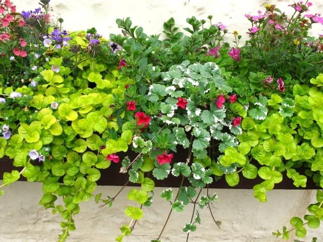 W tej kompozycji w skrzynce posadzono nie tylko rośliny kwitnące, ale także takie o ozdobnych liściach: tojeść rozesłaną 'Aurea' i biało-zielony plektrantus. Ich pędy znacznie wydłużą sie w ciagu sezonu i będą malowniczo zwisać.