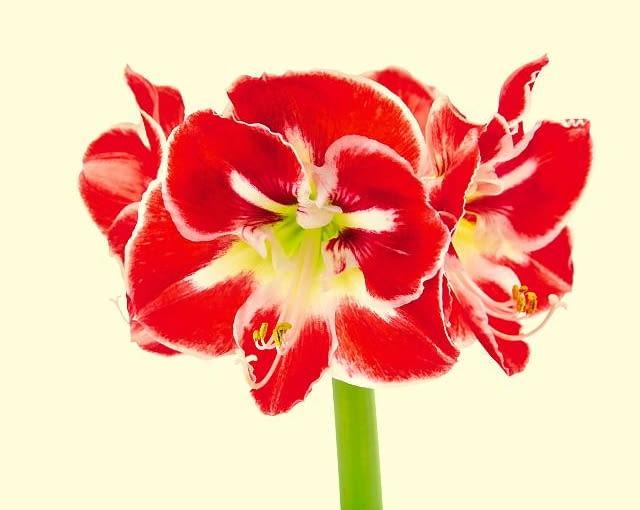 Kwiaty hipeastrum skierowane są w różne strony. Na zdjęciu odmiana z promienistym wzorem na płatkach