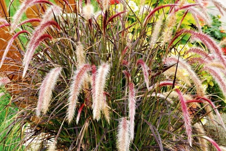 ROZPLENICA SZCZECINKOWATA (Pennisetum setaceum) 'Rubrum' to jedna znajpiękniejszych traw ozdobnych. Ma bordowo-fioletowe liście ipuszyste kwiatostany odługości do 30 cm. Niestety nie zimuje wgruncie - na zimę trzeba ją przenieść pod dach.