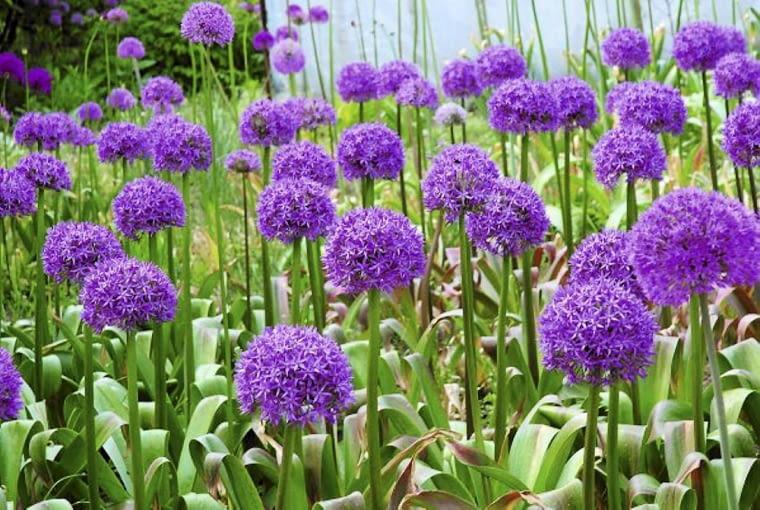 Kwiaty cebulowe. Czosnki ozdobne kwitną późną wiosną i wczesnym latem. Na zdjęciu odmiana 'Gladiator'