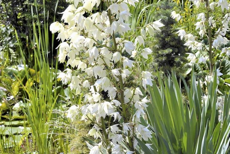 Juka karolińska, gdy kwitnie, gasi urodę innych roślin. W naszym klimacie jej kwiatostany osiągają półtorametrową wysokość, w cieplejszych regionach są dwa razy wyższe.