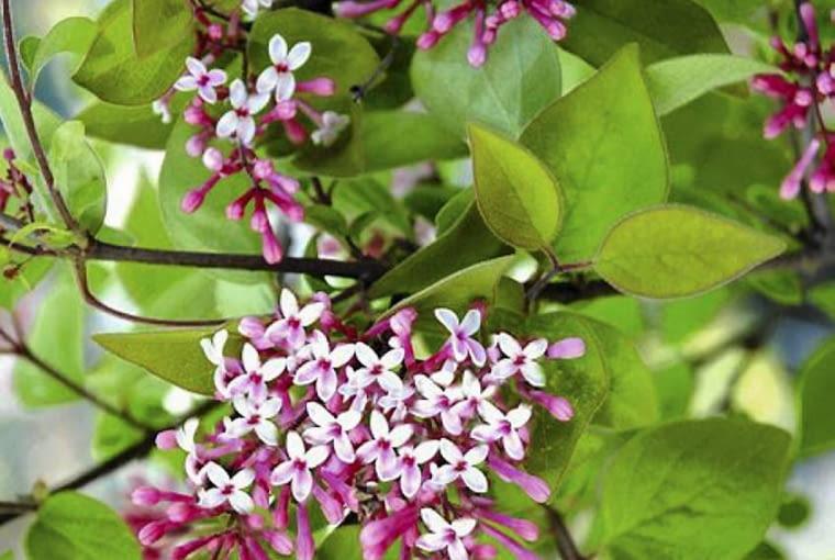 Lilak drobnolistny 'Superba' (Syringa microphylla). Rośliny kwitnące dwukrotnie w ciągu roku