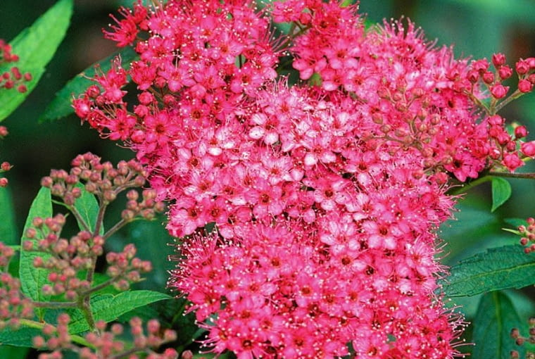 Spiraea japonica 'Anthony Waterer' SLOWA KLUCZOWE: , colours, colors, colourful, colorful, bright, pink, petals, fl