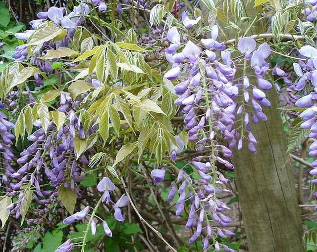 wisteria kwiecista
