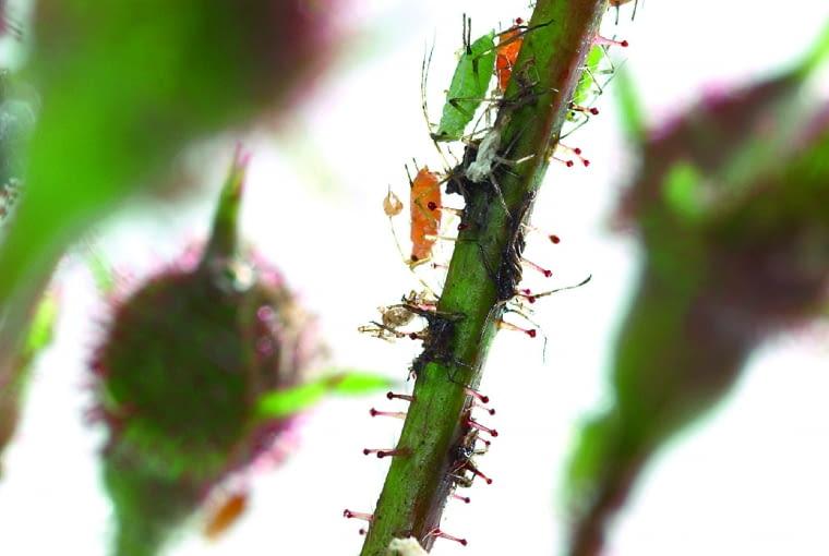Różne gatunki mszyc żerujące na pędzie róży.