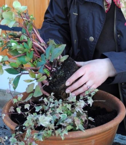 Bez względu na to, czy roślinę wyjętą z doniczki sadzimy w ogrodzie na rabacie czy przesadzamy do innej, większej donicy lub skrzynki - zawsze staramy się palcami delikatnie rozluźnić bryłę korzeniową i korzonki