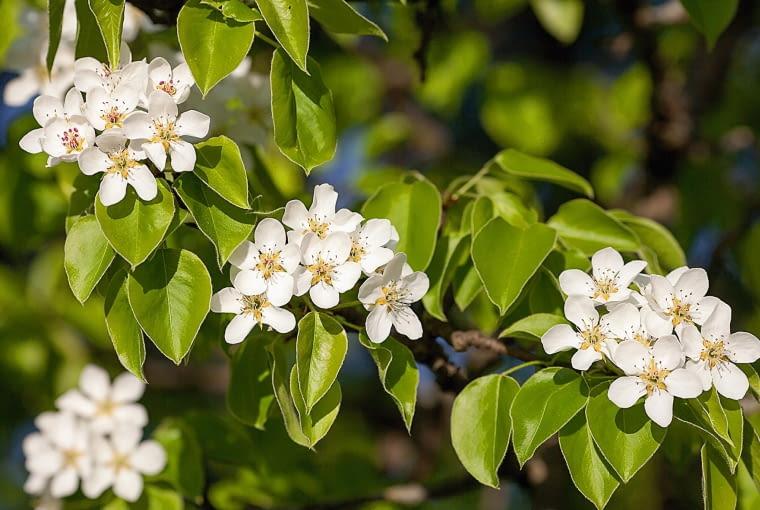 Grusza drobnoowocowa, kwiaty
