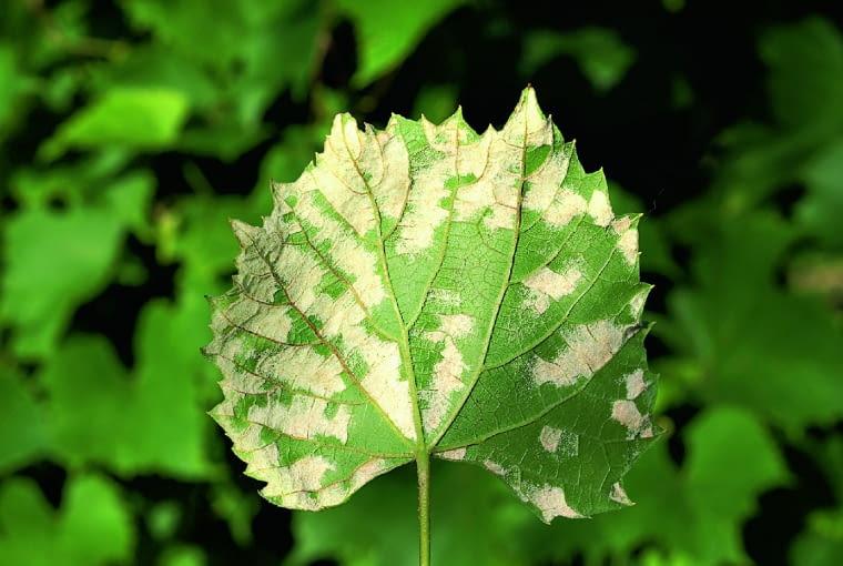 Na dolnej stronie liści winorośli pojawiają się białe plamy. Przyczyna: pilśniowiec winorośli.