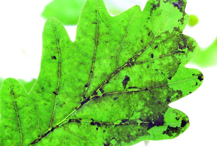 Przyczyną czarnego nalotu na liściach dębu są grzyby sadzakowe.