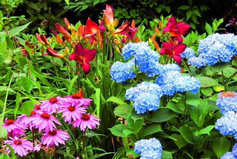 Letnie rabaty dosłownie kipią kolorami kwiatów - tutaj jeżówki, hortensji ogrodowych i liliowców.