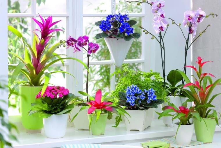 Zimowy parapet zdobią: guzmania, odmiana różowa; fiołek afrykański, odmiana ciemnoniebieska; storczyk falenopsis; kalanchoe; neoregelia; paproć adiantum; fiołek afrykański z grupy Chimera; guzmiania, odmiana czerwona.