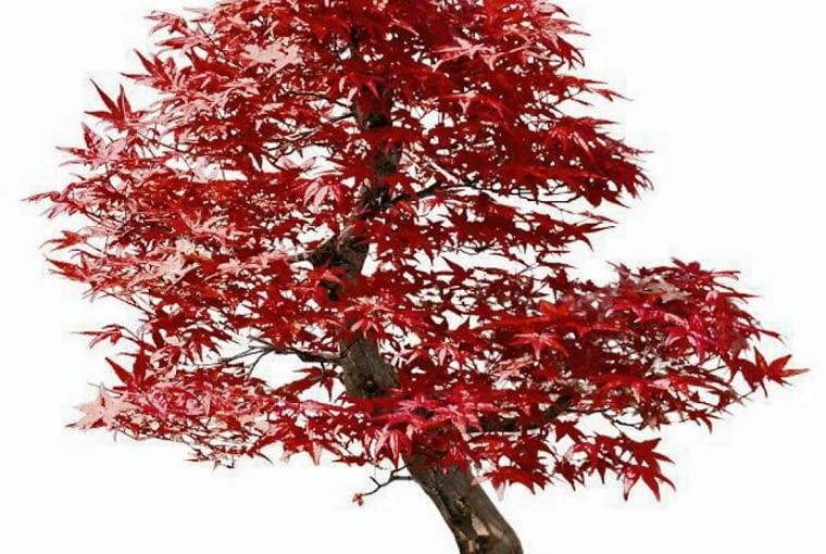 AZJATYCKIE KLONY doskonale nadają się do formowania drzewek bonsai