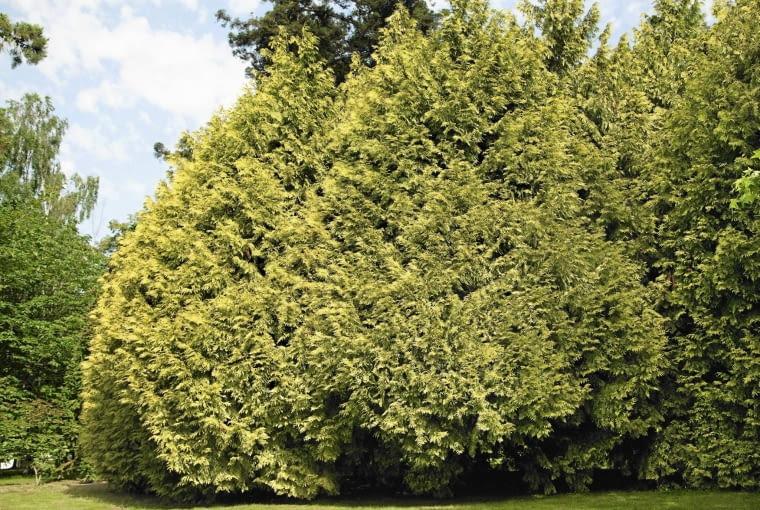 Thuja plicata Zebrina SLOWA KLUCZOWE: Close Up gr´n Koniferen Lebensbaum Nahaufnahme Nova Bilder Riesen-Lebensbaum Thuja Thuja plicata gelb