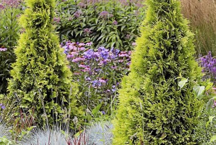 Thuja occidentalis SLOWA KLUCZOWE: Bressingham G rten Konifere Lebensbaum Nadelbaum Thuja Thuja occidentalis conifera gr´n occidentalis
