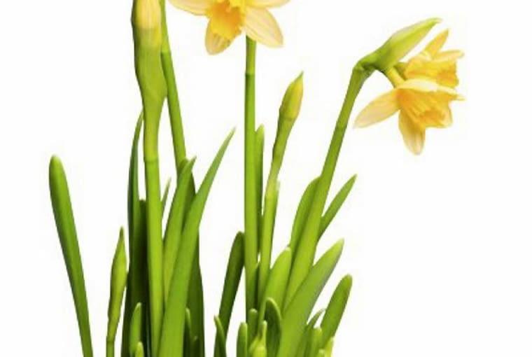 Narcyzy preferują próchniczne, wilgotne i przepuszczalne podłoże (pH 5,5 - 7,5). W jednym miejscu nie powinny rosnąć dłużej niż 4 lata